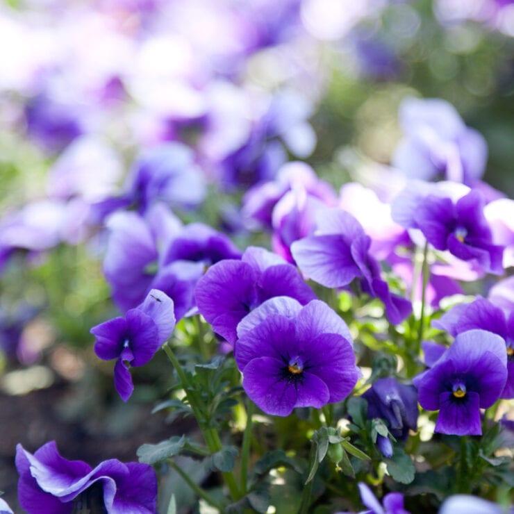 paarse viooltjes van de Huyskweker